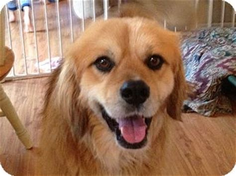 golden retriever king charles spaniel mix gunner adopted plainfield il golden retriever cavalier king charles spaniel mix