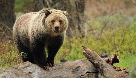 Grizzly Bears Yellowstone National Park U S National Park Service - yellowstone grizzly bears by the numbers my yellowstone park