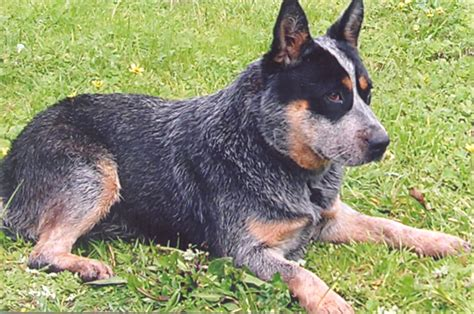 how to cattle dogs photo australian cattle