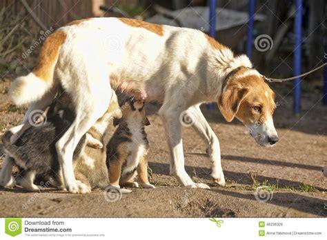 feeding puppies milk hound puppies feeding stock photo image 46236326