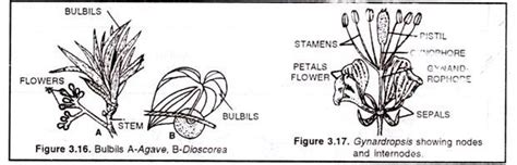 modifications of stem explained with diagram