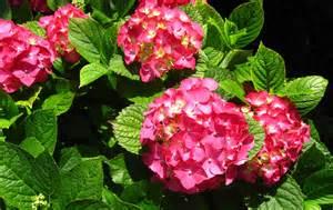flowers for flower lovers hortensia flowers