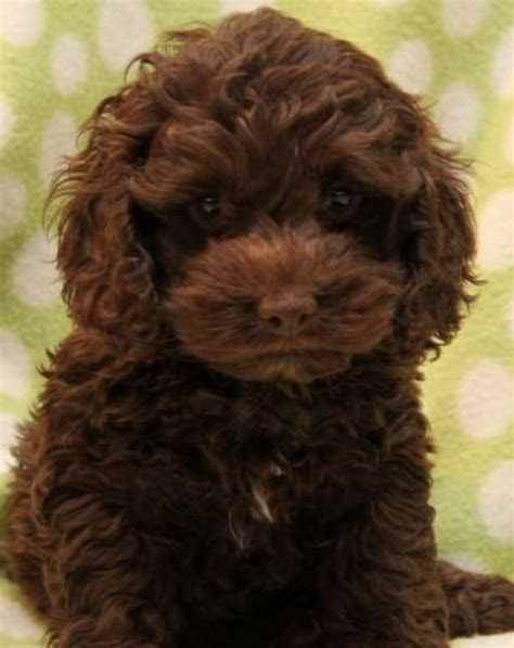 cocker poodle puppies cocker poodle puppies weston mare somerset pets4homes