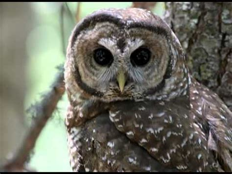 youtube owl video search californian spotted owl