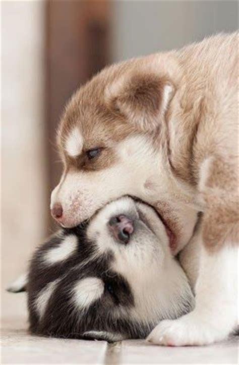 where can i buy a pomeranian husky the pomeranian husky information pictures breeders