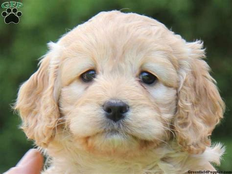 cockapoo puppies for sale in pa 17 best images about cockapoo on awesome things allergies and sheds