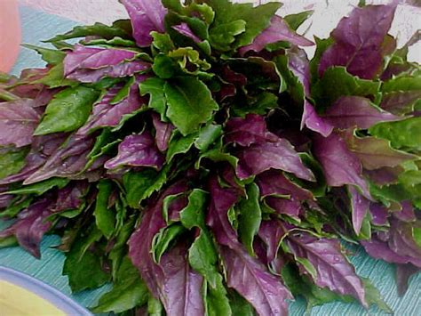 Tropical Edible Plants - okinawa spinach 171 edible plant project permaculture tropical biome pinterest spinach