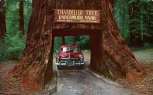chandelier drive thru tree the drive through trees of california amusing planet