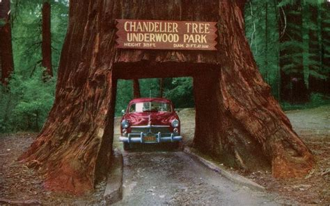 chandelier tree in the drive thru tree park the drive through trees of california amusing planet