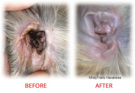 ear mites vs yeast infection ear mites vs yeast infection