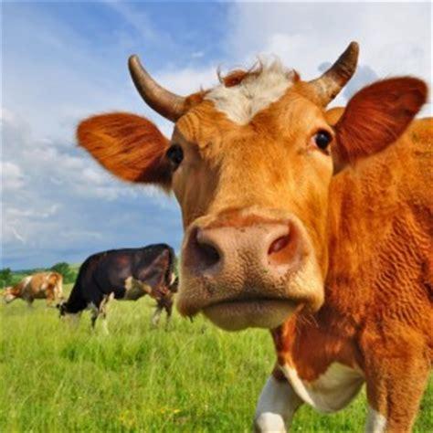 la espaa vaca viaje b01dkun97c salir de la zona de confort el cuento de la vaca jobisblog latam