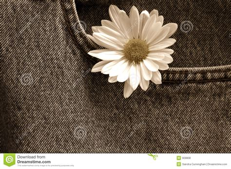 Pocket Daysi Flower in pocket royalty free stock image