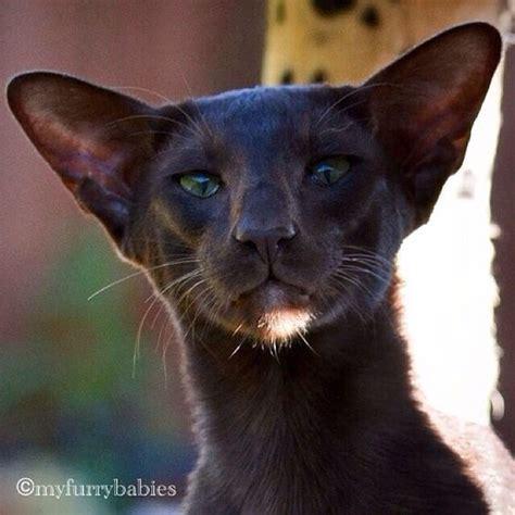 Black And White Oriental Shorthair Cat   www.imgkid.com