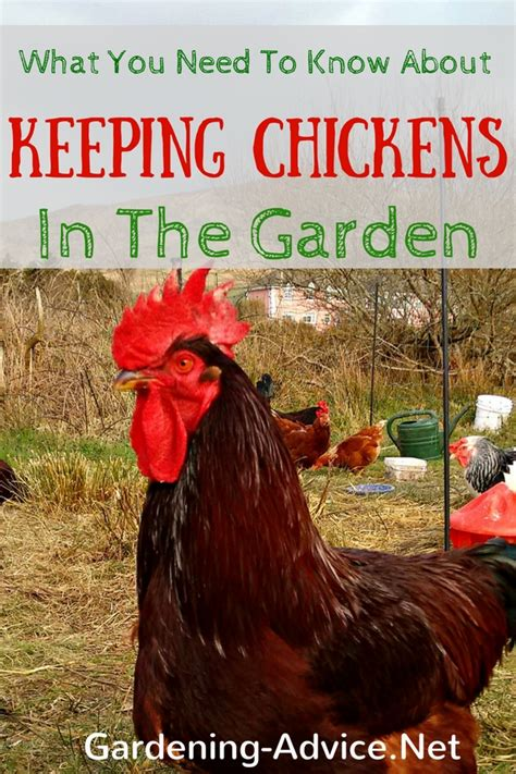 keeping chickens in backyard is keeping backyard chickens for you