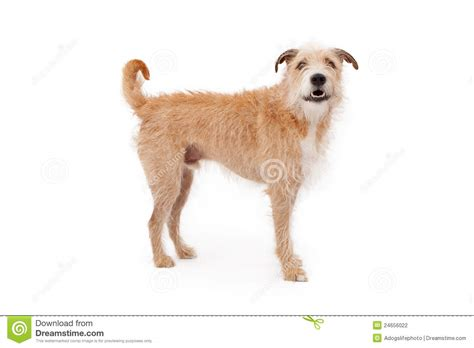 scruffy breeds mixed breed scruffy standing stock photography image 24656022