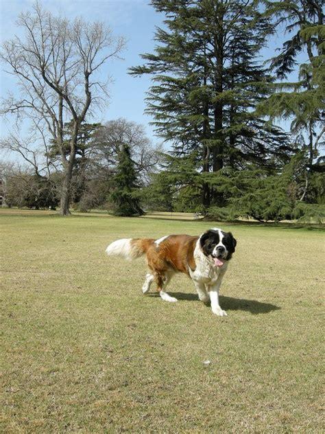 san bernard 10 best ideas about san bernard on san bernard st bernard dogs and