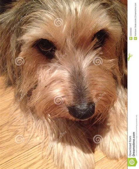Yorkie Corgi Mix Stock Photo Image 53296663