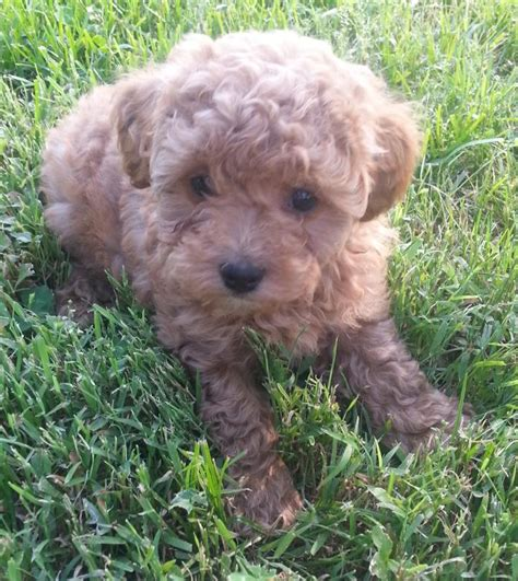 mini labradoodles carolina miniature labradoodle breeder in carolina