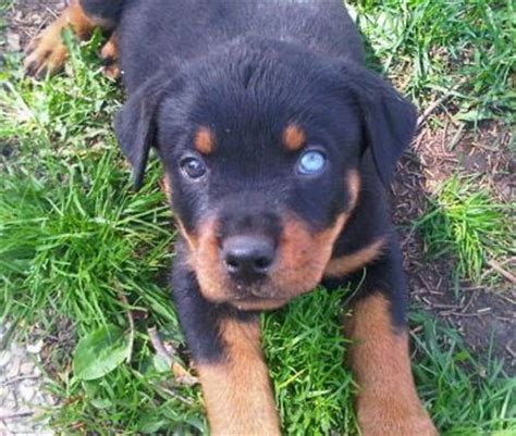 can rottweilers blue 447 best images about dogs on siberian huskies sleeping and german