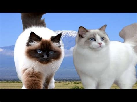 birman v ragdoll birman vs ragdoll cat difference explained