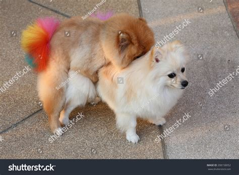 pomeranian mating pomeranian dogs mating stock photo 208158052