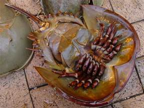 horseshoe crab blood color horseshoe crabs miracle blood madjellyfish