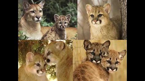 imagenes del animal weta pumas hd puma felinos grandes gatos para ni 209 os youtube