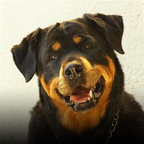 fotos de perros rottweiler rottweiler caracter 237 sticas fotos y v 237 deos