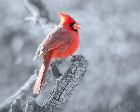 cardinal print art photography cardinal bird art red
