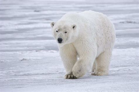the polar bear fur and feathers keep animals warm by scattering light