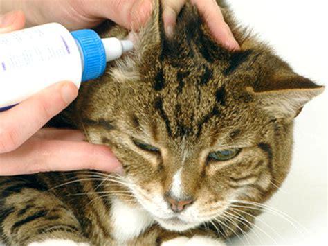 orecchio interno gonfio orecchie gatto cura e igiene
