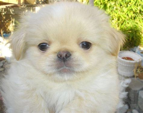 pictures of pekingese puppies puppies pictures and information