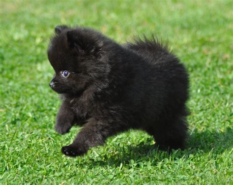 black pomeranian puppies 25 best ideas about black pomeranian on baby