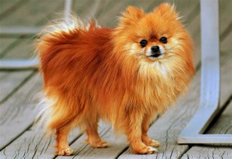pomeranian dogs food what is the best food for pomeranians