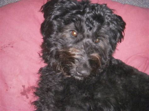 aussiedoodle puppies for adoption aussiedoodle rescue breeds picture