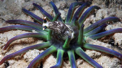 anemone eating bird sea anemones eating www pixshark images galleries