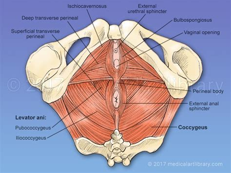 pelvic floor muscles of pelvic floor carpet review
