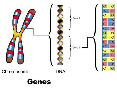 what is a section of a chromosome called agapornis genome study dirk van den abeele