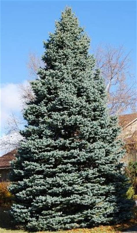 colorado blue spruce picea pungens glauca the home