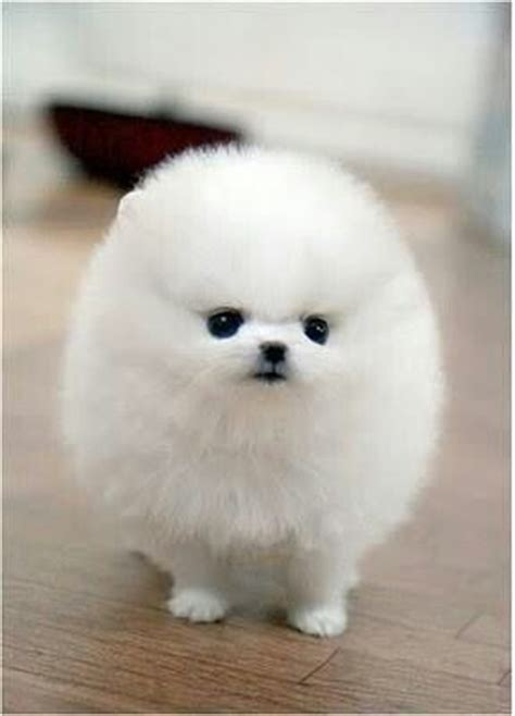 snowball puppy pomsky puppies are the cutest puppy snowball carrier
