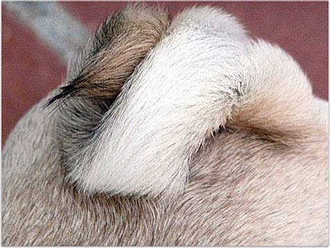 why are pugs tails curly pug spanky s corkscrew 52 weeks for dogs by chica tica flickr photo