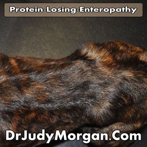 protein losing enteropathy in dogs 14 best images about our bama and jersey on chihuahuas adoption and a z