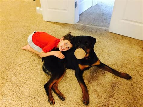 rottweiler for sale vic rottweiler for sale louisiana dogs our friends photo