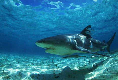 imagenes para fondo de pantalla de tiburones fondos de pantalla de tiburones imagui