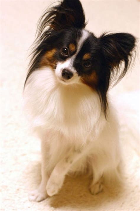 papillon puppy 17 best images about papillon dogs on october 2013 puppys and dogs