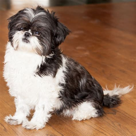 names shih tzu pin name shih tzu on