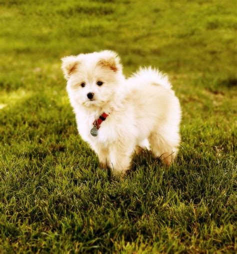 half pomeranian half poodle puppies waldo running and poodle