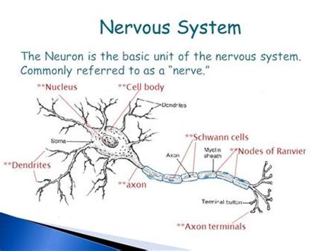 section 49 1 review neurons and nerve impulses ns review nervous system coordinates and regulates the