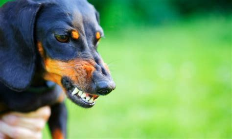 signs of aggression in dogs behavior archives pet care facts