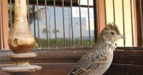 Pakan Branjangan dunia burung kicau perawatan umum burung branjangan